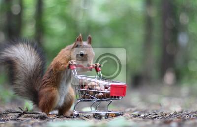 Fototapeta Czerwona wiewiórka w pobliżu małego koszyka z supermarketu z orzechami