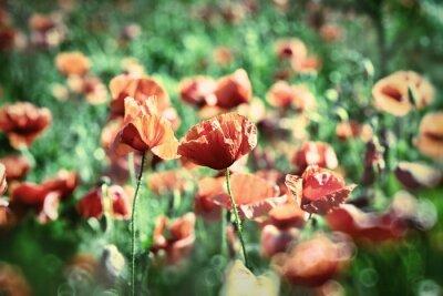 Fototapeta Czerwone kwiaty maku
