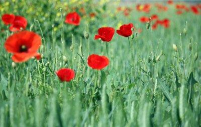 Fototapeta czerwone kwiaty maku charakter tle
