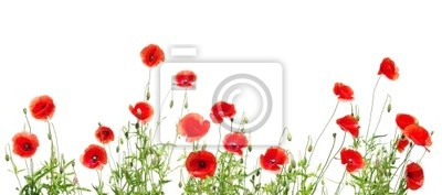 Fototapeta czerwone maki na białym tle