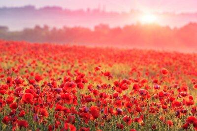 Fototapeta czerwone pole maku w porannej mgle