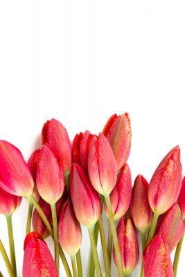 Fototapeta czerwone tulipany na białym