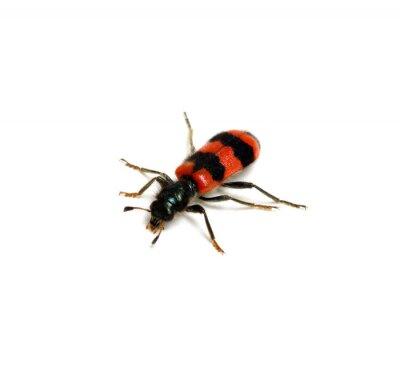 czerwony beetle na bia? ym