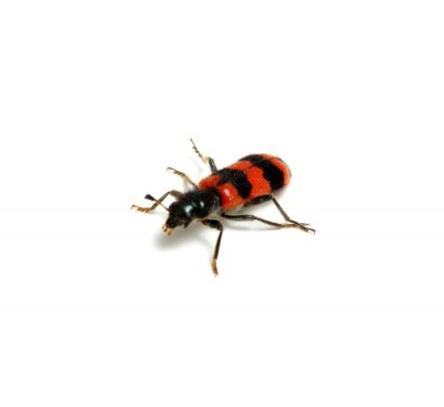 czerwony chrząszcz na białym