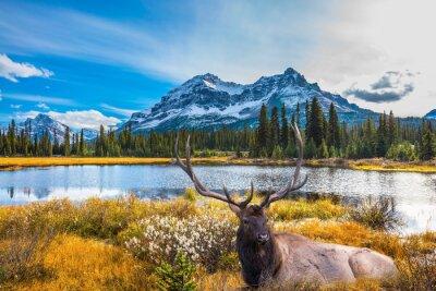 Fototapeta Czerwony jelenia z porożem rozgałęzionych
