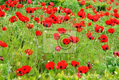 Fototapeta Czerwony kolor Poppy Field