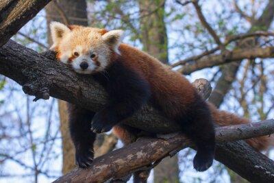 Fototapeta Czerwony (lub mniejsza panda Ailurus fulgens) odpoczywa na drzewie