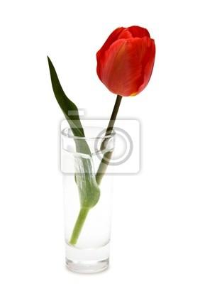 czerwony tulipan