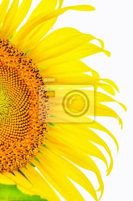 Część Sunflower bliska na białym tle