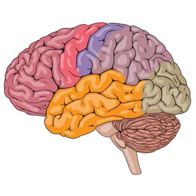 Fototapeta Części ludzkiego mózgu