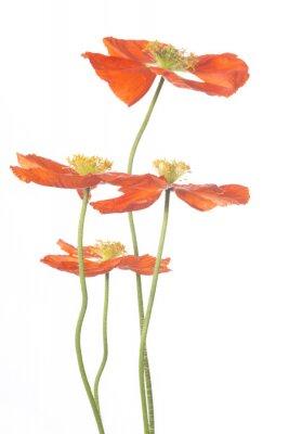 Fototapeta Cztery kwiaty maku