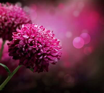 Fototapeta Dahlia Autumn flower design . Z kopiowaniem miejsca