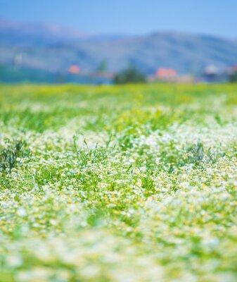 Fototapeta Daisy kwiaty pole