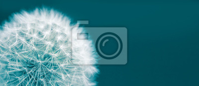 Fototapeta Dandelion head macro closeup photo isolated on a green cyan background in wide panorama format and large empty space. Photo color toned with green and blue filter.