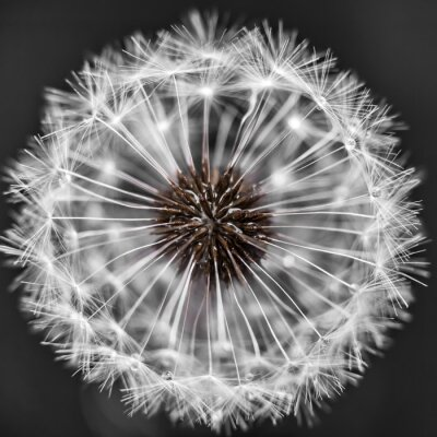Fototapeta Dandelion head with seeds