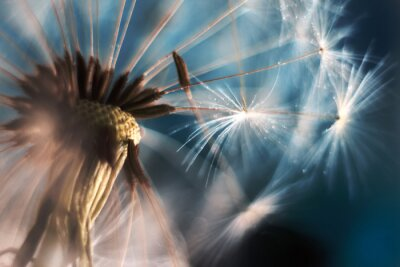 Fototapeta Dandelion in a macro lens