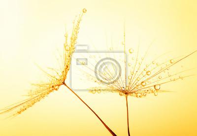Dandelion materiału siewnego