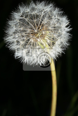 Fototapeta Dandelion na czarnym tle makro