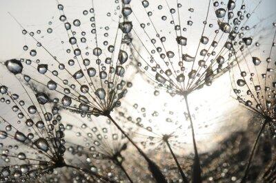 Fototapeta Dandelion nasion z kroplami rosy