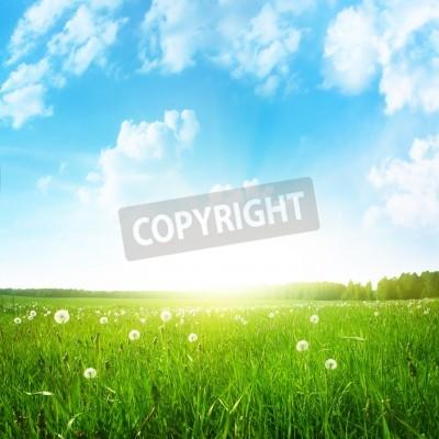 Fototapeta Dandelion pole, błękitne niebo i słońce