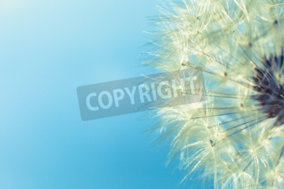 Fototapeta Dandelion seed with water drops