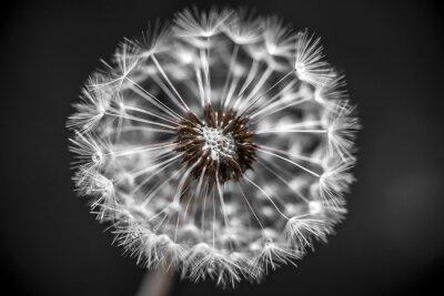 Fototapeta Dandelion zbliżenie