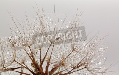 Fototapeta Dandillions with water drops on a white background