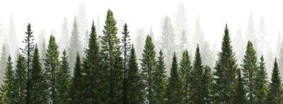 Fototapeta dark green straight trees forest on white