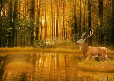 Fototapeta Deer Bucks in summer sunset light standing in an opening in the woods. Two deers with stag horns in forest with lake on background with trees. Wild life landscape scene screen saver