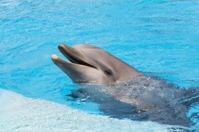 Fototapeta Delfin uśmiecha się w wodzie