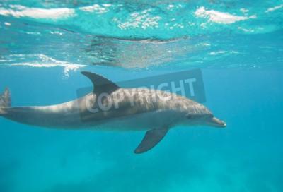 Fototapeta Delfin w dolinie delfinów, Tursiops truncatus pływanie pod wodą w piaszczystej lagunie