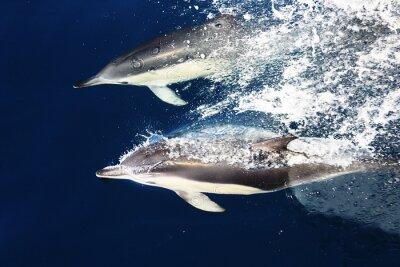 Fototapeta Delfiny Nowa Zelandia