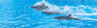 Fototapeta Delfiny pływają w wyścigu całej puli