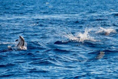 Fototapeta Delfiny podczas skoków w błękitne morze