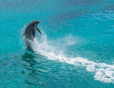 Fototapeta Delfiny skoków i przędzenie i.