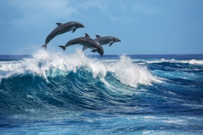 Fototapeta Delfiny skoków przez fale zerwania. Hawaii Pacific Ocean przyroda krajobrazy. zwierząt morskich w naturalnych siedlisk.
