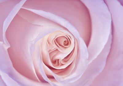Fototapeta delikatne światło liliowy wzrosła z bliska