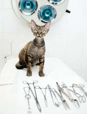 Fototapeta Devon rex kota w klinice weterynaryjnej w pobliżu narzędzia medyczne