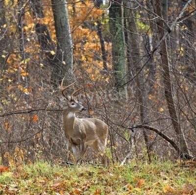 Fototapeta Doe mężczyzna z poroża w lesie jesienią