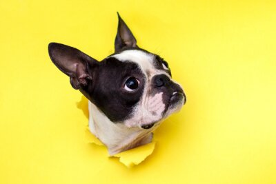 Fototapeta Dog breed Boston Terrier pushes his face into a paper hole yellow.