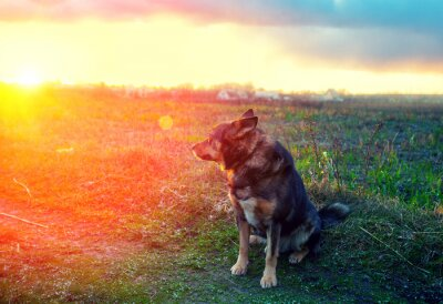 Fototapeta Dog gazing sunset in countryside