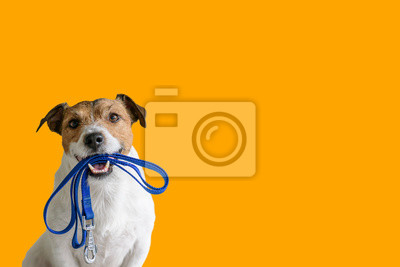 Fototapeta Dog sitting concept with happy active dog holding pet leash in mouth ready to go for walk