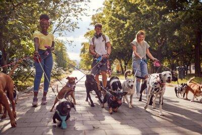 Fototapeta Dog walking on leash with three professional dog walker