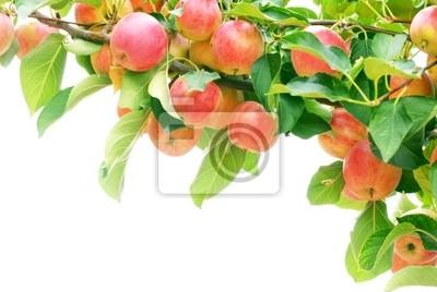 Dojrzałe czerwonych jabłek z gałęzi na białym tle