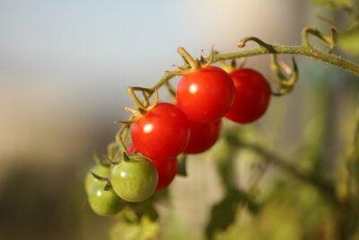 Dojrzałe naturalne pomidory rosnące na gałęzi w szklarni. Płytka głębia ostrości