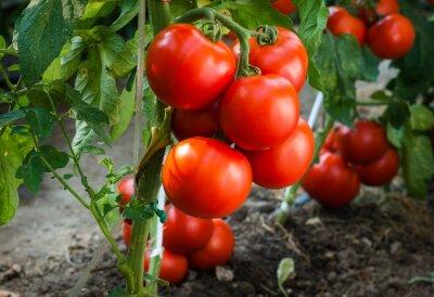 Fototapeta Dojrzałe pomidory w ogrodzie gotowe do zbioru