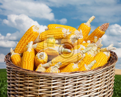 dojrzałe zboże w koszyku na niebieskim tle nieba