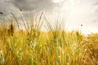 Fototapeta dojrzewania uszy polu pszenicy na tle su ustalającego