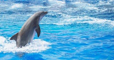 Fototapeta Dolphin skoków w błękitne morze. Miejsce dla tekstu.