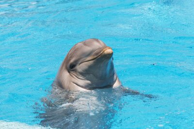 Fototapeta Dolphin smiling in the water